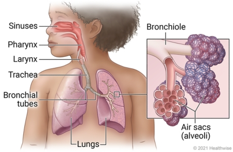Child's respiratory system showing sinuses, pharynx, larynx, trachea, bronchial tubes, and lungs, with detail of bronchiole and air sacs (alveoli).