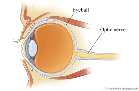 Picture of an eye cross section showing the optic nerve