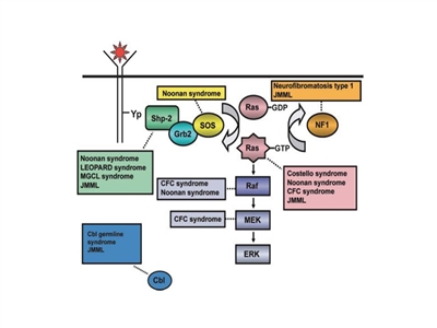 Schematic diagram showing ligand-stimulated Ras activation, the Ras-Erk pathway, and gene mutations contributing to the neuro-cardio-facio-cutaneous congenital disorders and JMML.