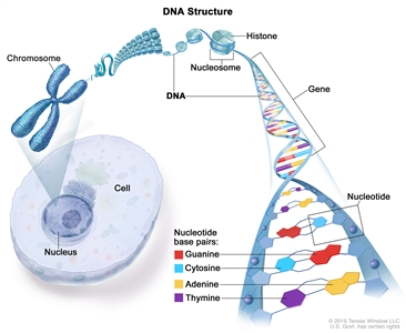 Structure of DNA; drawing shows a chromosome, nucleosome, histone, gene, and nucleotide base pairs: guanine, cytosine, adenine, and thymine. Also shown is a cell and its nucleus.