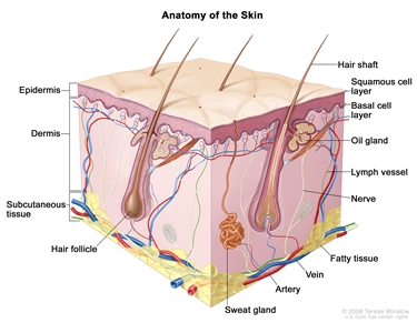 Anatomy of the skin; drawing shows the epidermis (including the squamous cell and basal cell layers), dermis, and subcutaneous tissue. Also shown are the hair shafts, hair follicles, oil glands, lymph vessels, nerves, fatty tissue, veins, arteries, and sweat glands.